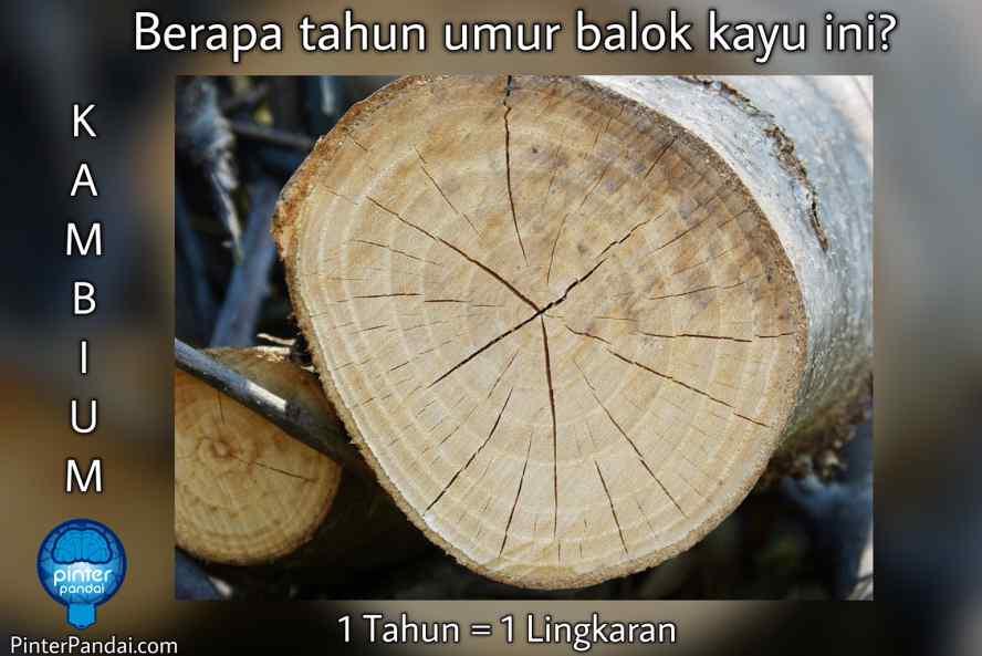 Menentukan Umur Batang kayu