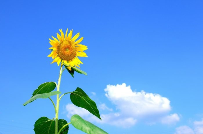 Unduh 62 Gambar Bunga Matahari Sd HD Terbaik