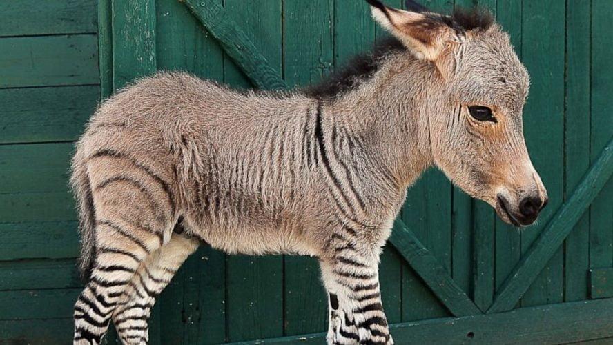 keledai hibrida