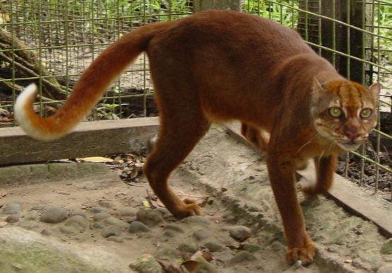 Kucing Merah Dari Kalimantan