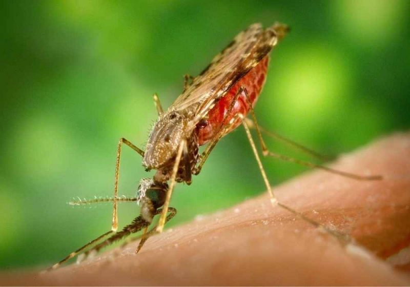 penyakit malaria