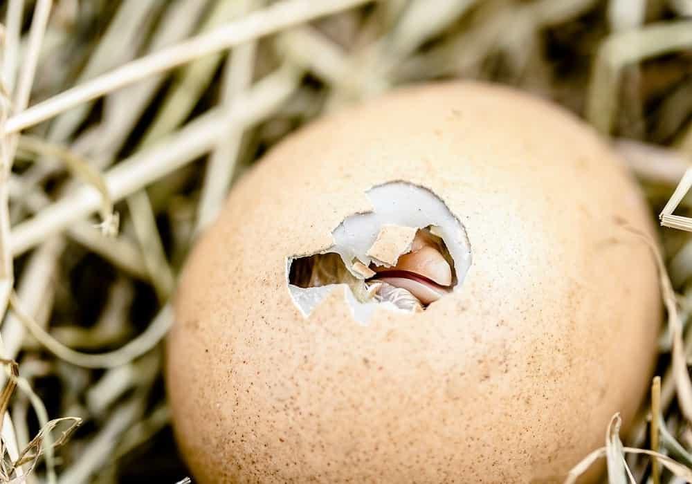 Arti mimpi telur pecah