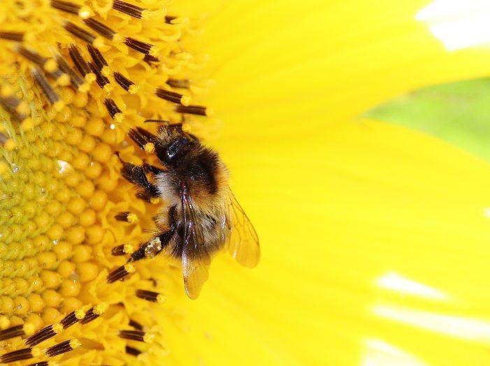 Lebah Akan Mati Setelah Menyengat Manusia