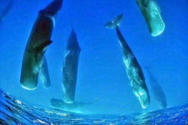Ikan paus sperma kepala kotak