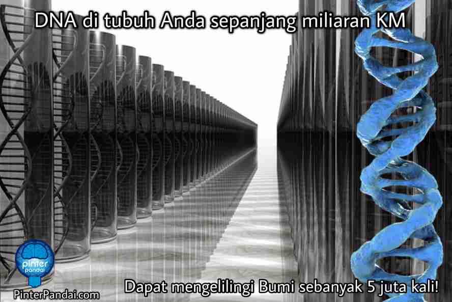 DNA deoxyribonucleic acid - Tubuh Manusia Mengandung DNA Sejumlah Miliaran Kilometer