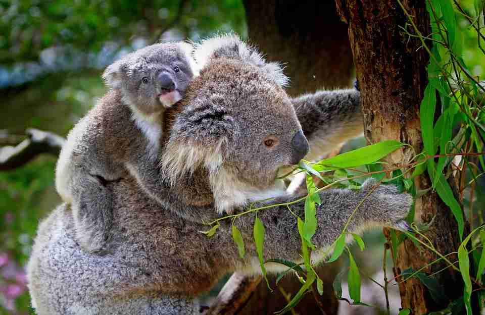 Koala tidak minum air