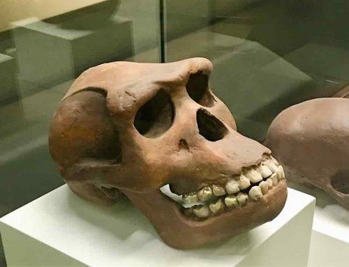 Fosil Tengkorak Manusia Jawa Pada Zaman Purbakala