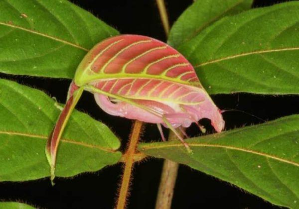 Serangga Sabah Borneo Kamuflase