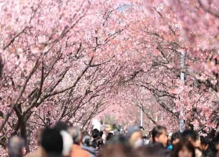 Tokyo Bunga Sakura