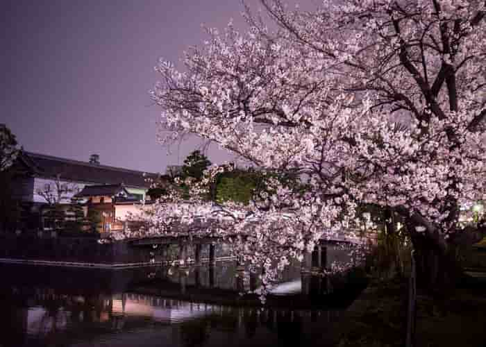 Tokyo bunga sakura mekar