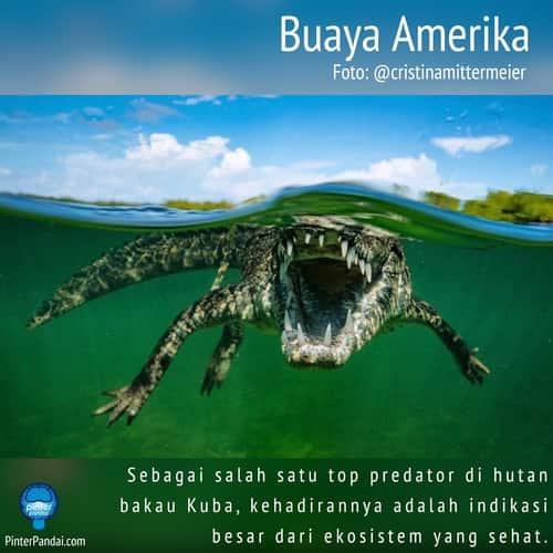 Ekosistem - Buaya Amerika