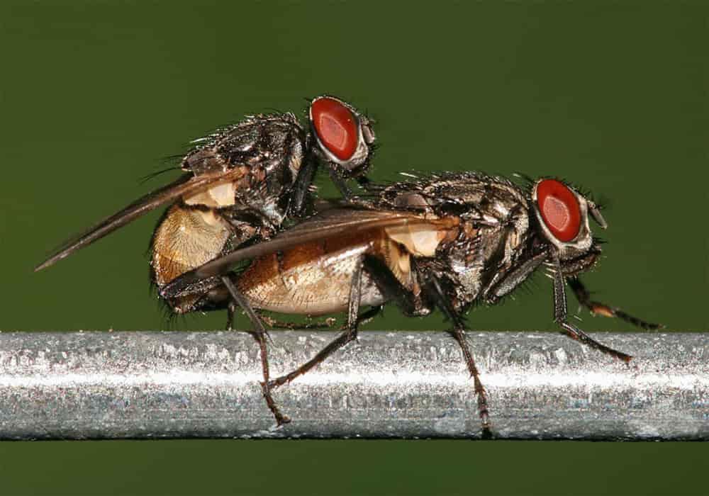 Sistem reproduksi - lalat kawin