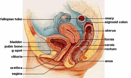 Sistem reproduksi wanita - vagina