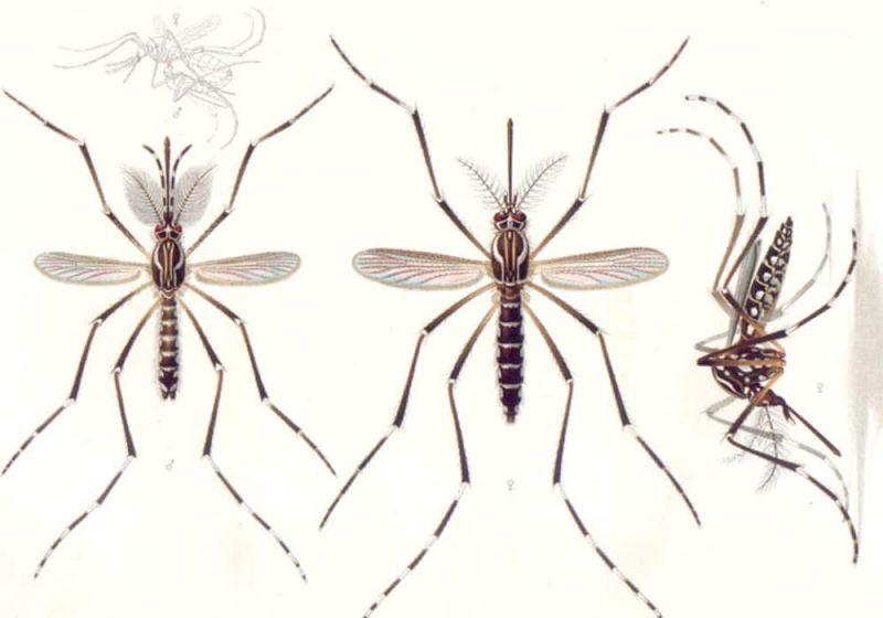 Nyamuk demam kuning Aedes aegypti