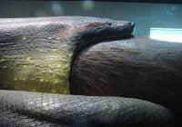 Ular terbesar di dunia - Anakonda hijau