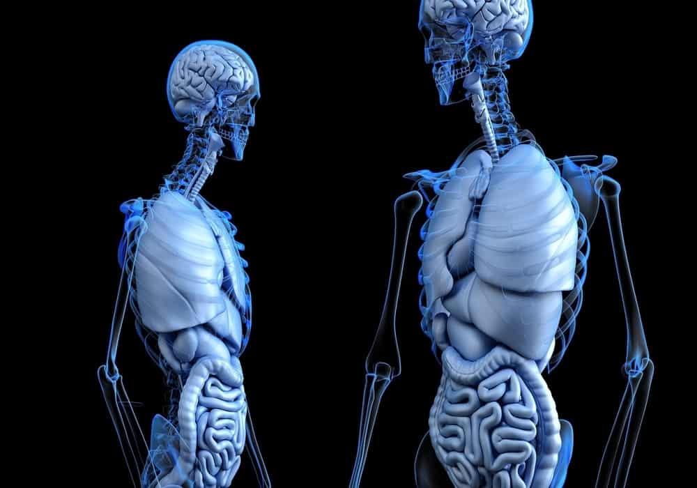Organ Tubuh Manusia Daftar Organ Luar Dan Dalam
