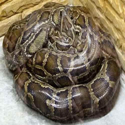 Sanca bodo - Python bivittatus