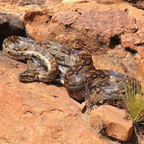 Ular sanca batu afrika - python natalensis