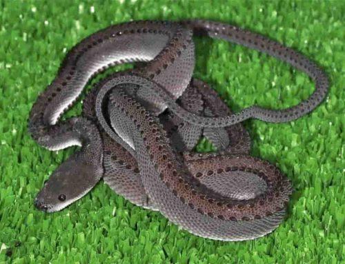 Ular Naga Xenodermus Javanicus – Ular Asli Indonesia