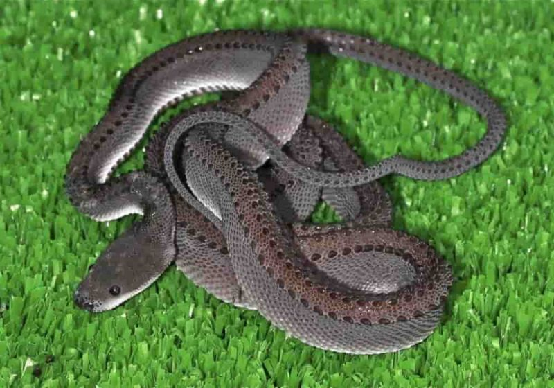 Ular Naga Xenodermus Javanicus Indonesia
