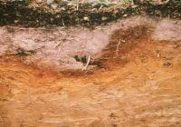 Tanah podsol spodosol