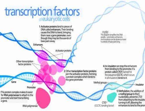 Faktor Transkripsi – Sekelompok Protein di Dalam Inti Sel