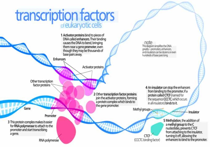 Faktor Transkripsi