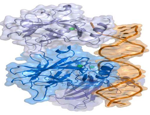 Tumor Protein p53 –  Menjaga Sel Dari Mutasi Genetik Akibat Kerusakan DNA