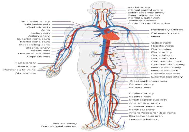 Urutan peredaran darah yang benar - sistem peredaran darah