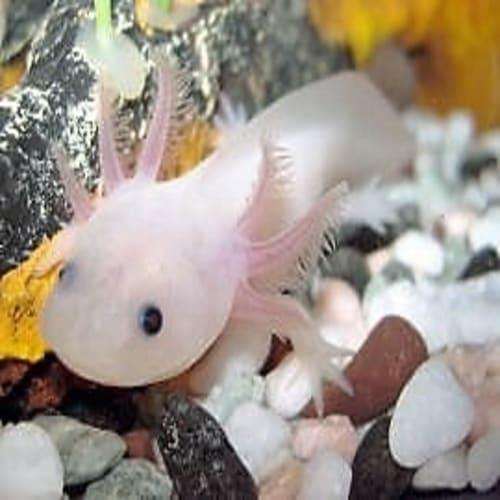 Monster air ikan salamander meksiko axolotl