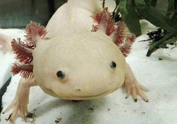 Ikan salamander meksiko axolotl