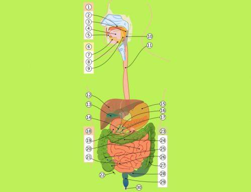 Organ-Organ Pencernaan Manusia – Pengertian dan Contoh