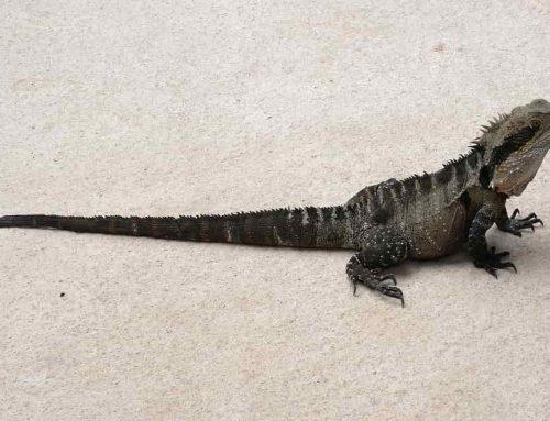 Naga Air Australia – Water Dragon (Intellagama Lesueurii)