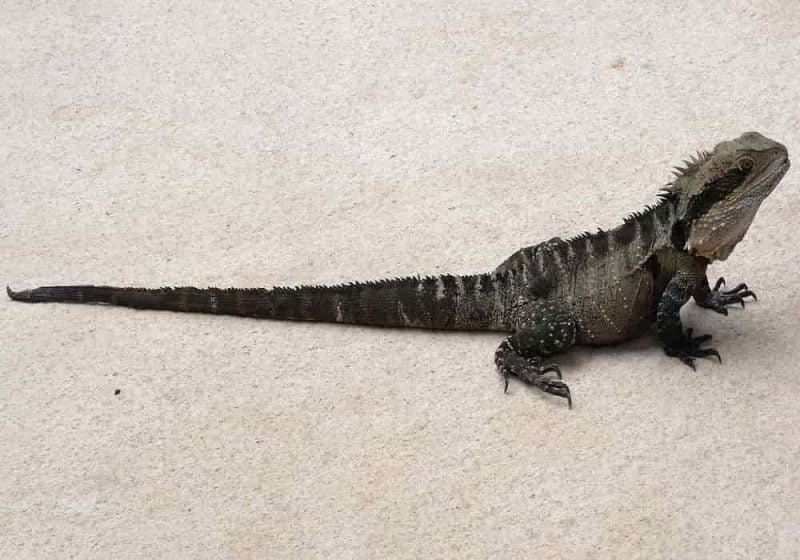 Reptil naga air water dragon australia