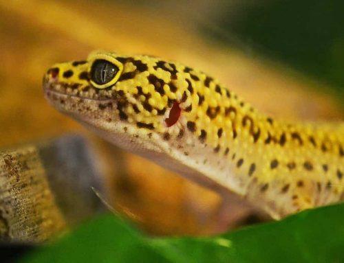 Tokek – Penjelasan, Reproduksi, Spesies, Penyebaran dan Fakta tentang Reptil Ini