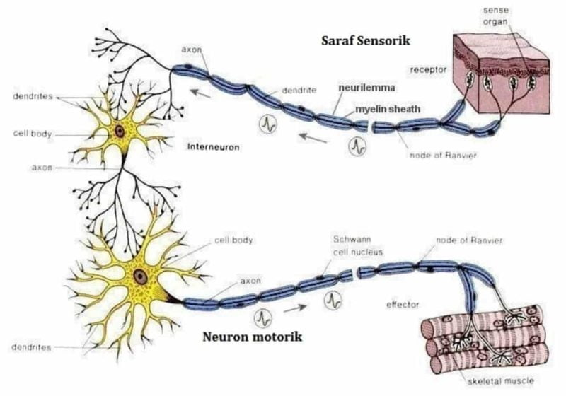 Sel Saraf: Jenis, Fungsi, Struktur, Ciri-Ciri, Organel Penyusun Sel Saraf (Neuron)