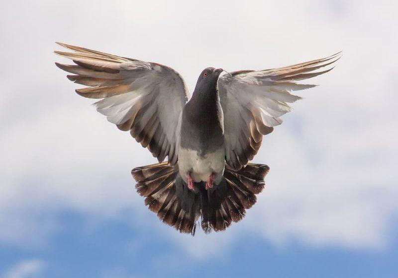 Arti mimpi burung dara