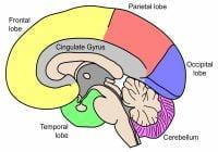 Bagian Otak Manusia dan Fungsinya