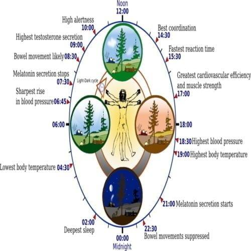 Beberapa inti dari jam biologis sirkadian manusia selama 24 jam