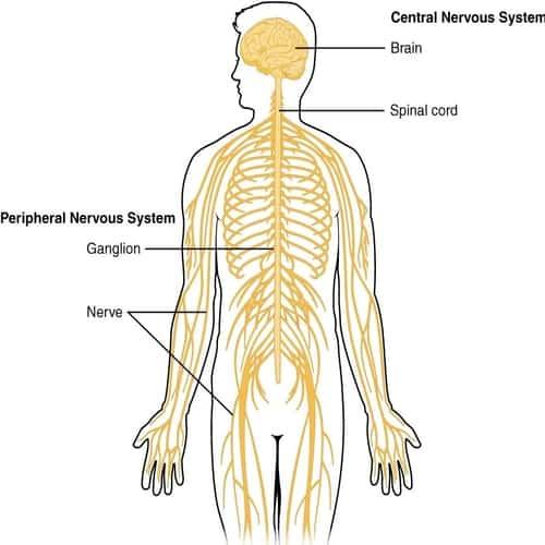 Sistem saraf pusat central nervous system