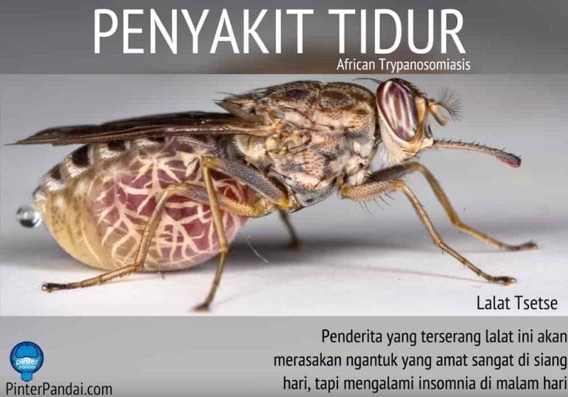Penyakit Tidur - African Trypanosomiasis - Disebabkan Oleh Gigitan Lalat Tsetse - Penjelasan, Penyebab, Gejala dan Pengobatan