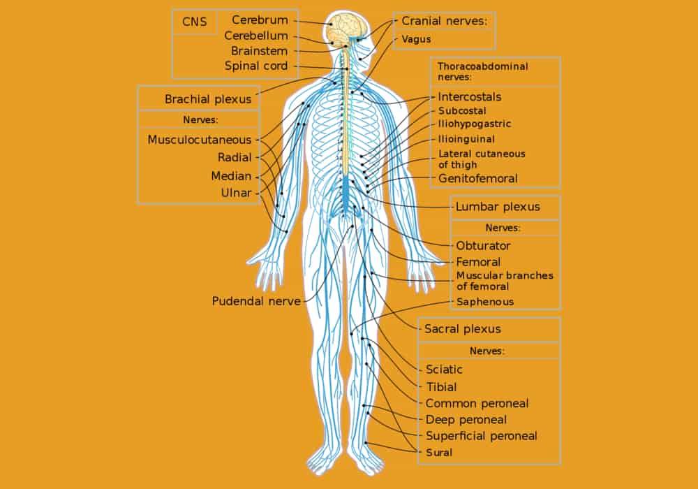 Gambar sistem saraf tepi