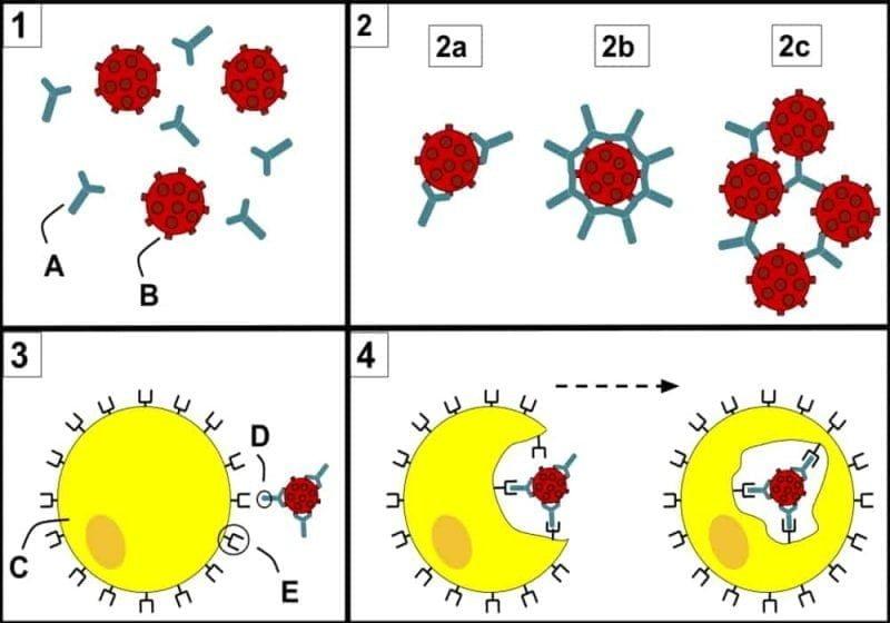 Antibodi - Pengertian dan Fungsi Antibodi