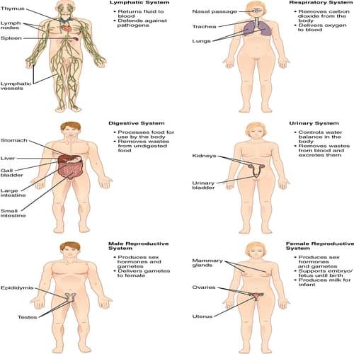 Sistem Organ - Fisiologi Manusia dan Konsep Homeostatis