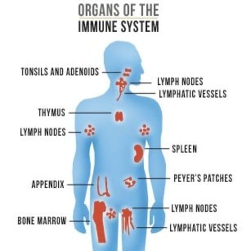 5 Bagian Dari Sistem Kekebalan Tubuh - Komponen & Organ Pembentuk Sistem Imun