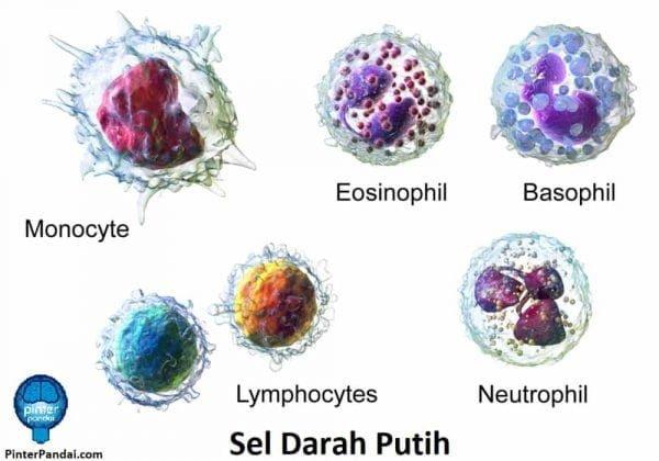 Jenis sel darah putih: Basofil, Eosinofil, Neutrofil, Limfosit dan Monosit