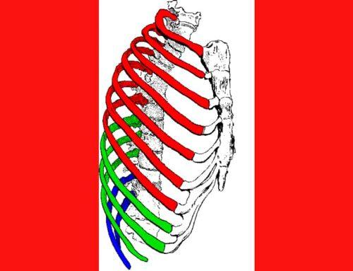 Tulang Rusuk Manusia Berjumlah 24 (12 Pasang) – Penjelasan 3 Jenis Tulang Rusuk / Iga