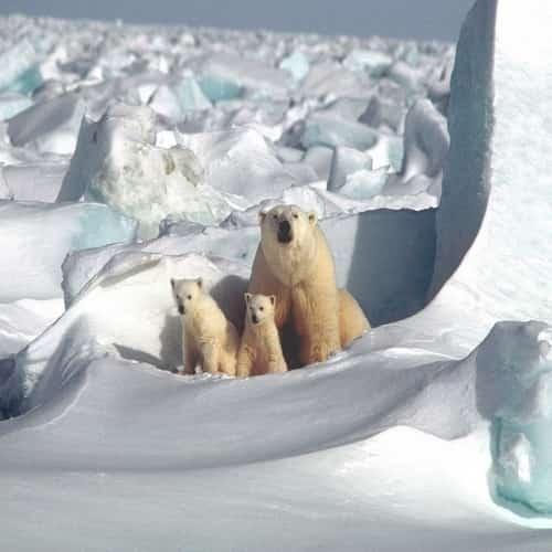 Arti mimpi beruang kutub
