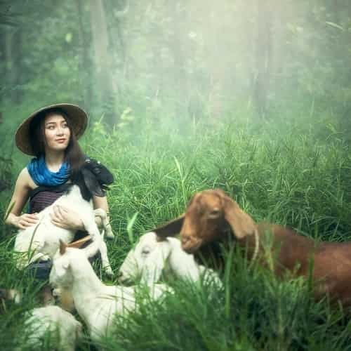 Arti mimpi kambing
