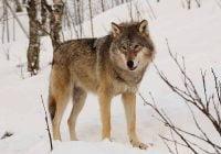anjing berasal dari serigala